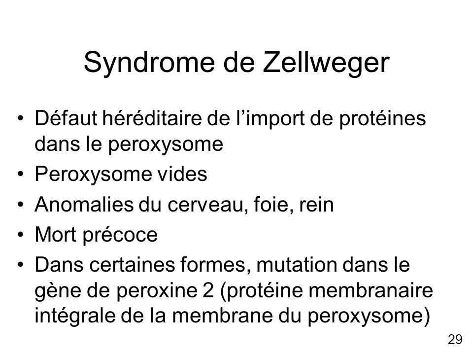 29 Syndrome de Zellweger Défaut héréditaire de limport de protéines dans le peroxysome Peroxysome vides Anomalies du cerveau, foie, rein Mort précoce