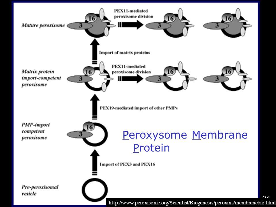 31 http://www.peroxisome.org/Scientist/Biogenesis /peroxins/membranebio.html Peroxysome Membrane Protein http://www.peroxisome.org/Scientist/Biogenesi