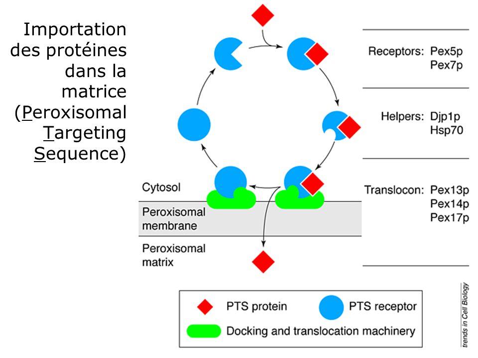 45 Tabak,HF1999 (fig3) TiCB Importation des protéines dans la matrice (Peroxisomal Targeting Sequence)