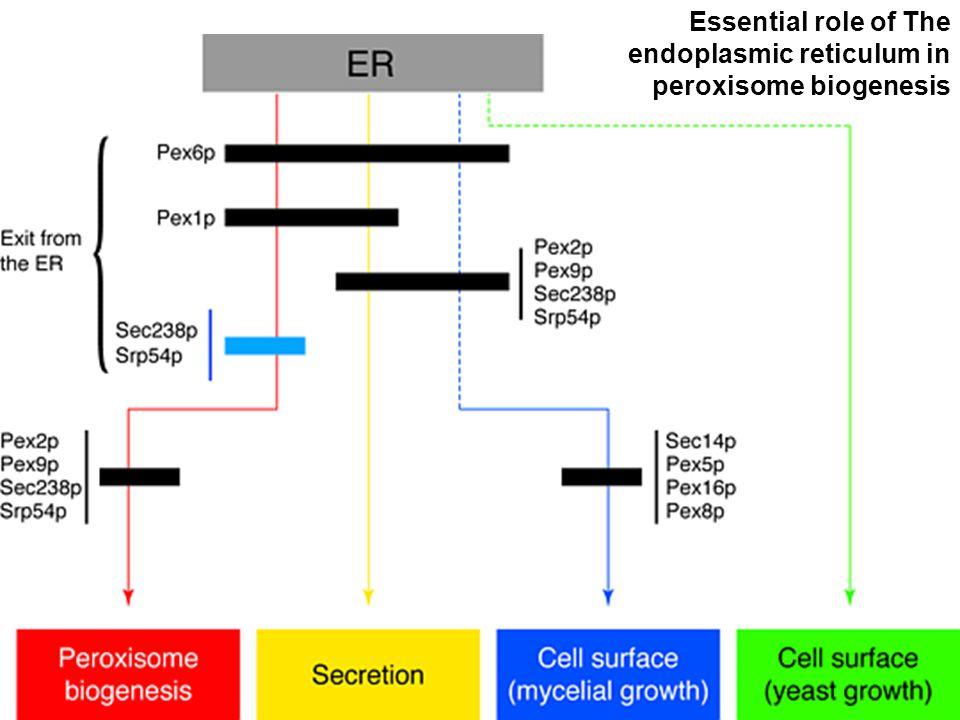 46 Titorenko,VI1 998(fig1).gif Essential role of The endoplasmic reticulum in peroxisome biogenesis