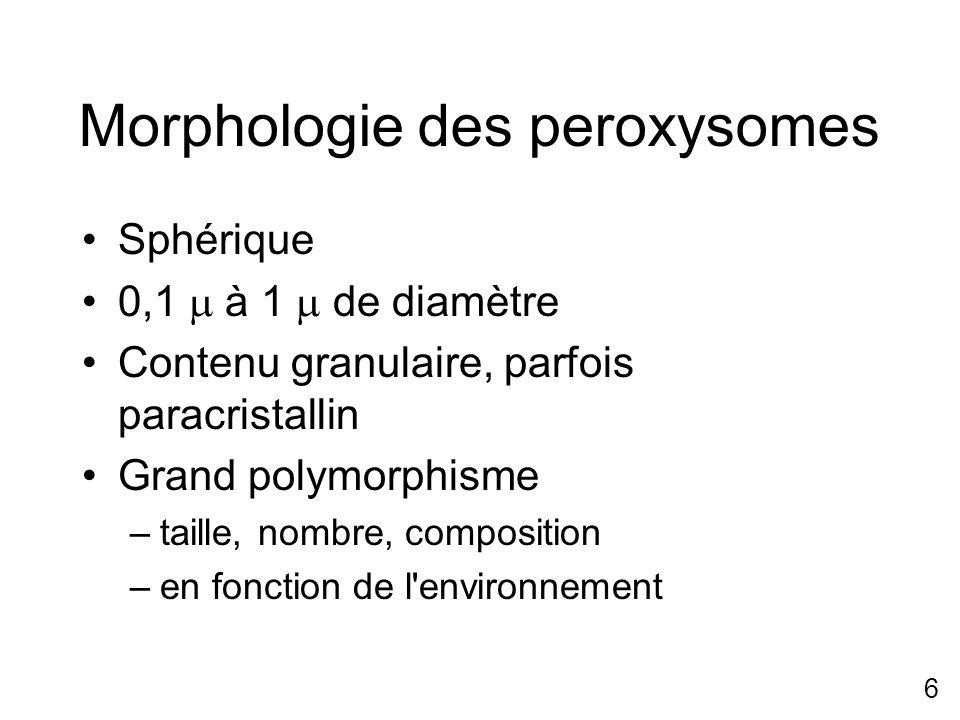 6 Morphologie des peroxysomes Sphérique 0,1 à 1 de diamètre Contenu granulaire, parfois paracristallin Grand polymorphisme –taille, nombre, compositio