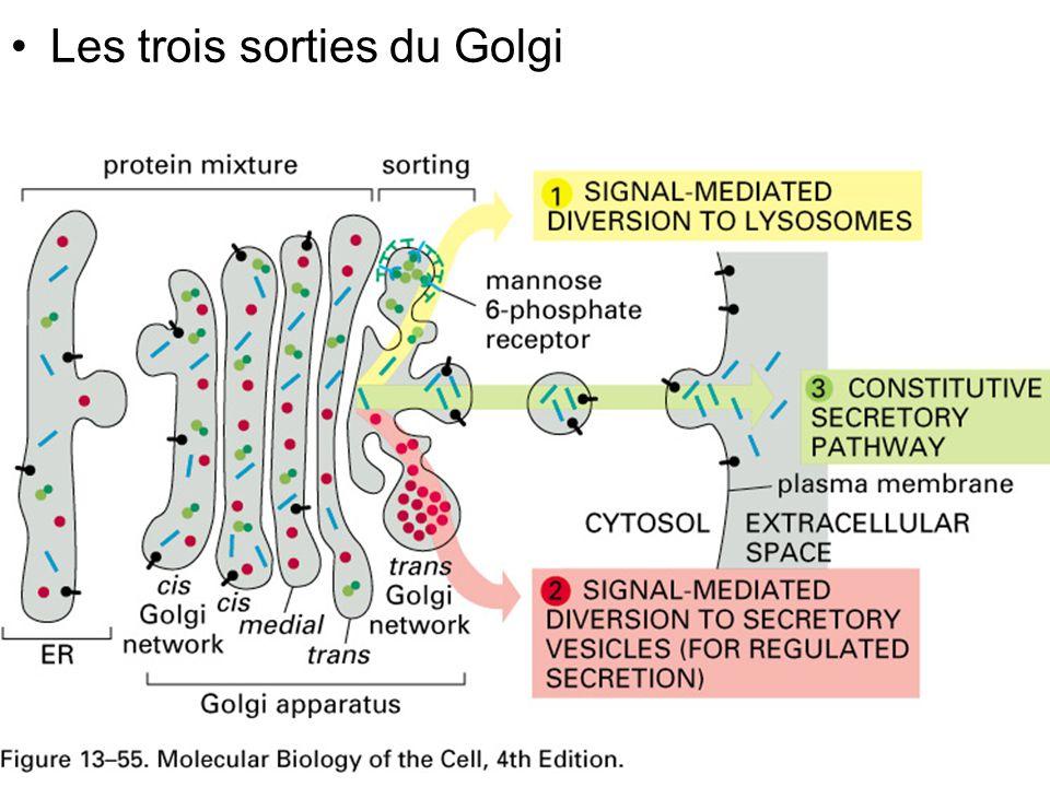 11 Fig 13-55 Les trois sorties du Golgi