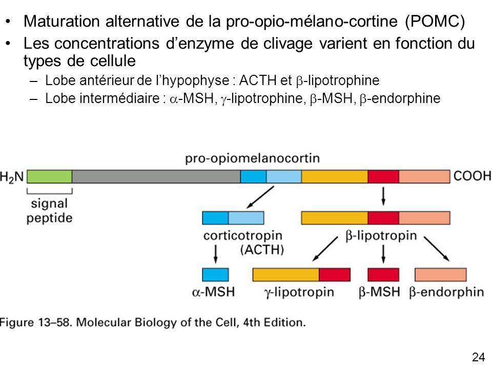 24 Fig 13-58 Lobe antérieur Lobe intermédiaire Maturation alternative de la pro-opio-mélano-cortine (POMC) Les concentrations denzyme de clivage varient en fonction du types de cellule –Lobe antérieur de lhypophyse : ACTH et -lipotrophine –Lobe intermédiaire : -MSH, -lipotrophine, -MSH, -endorphine