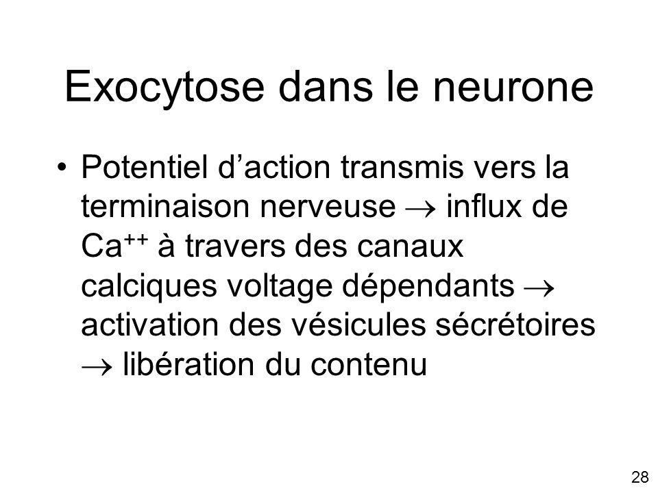 28 Exocytose dans le neurone Potentiel daction transmis vers la terminaison nerveuse influx de Ca ++ à travers des canaux calciques voltage dépendants activation des vésicules sécrétoires libération du contenu