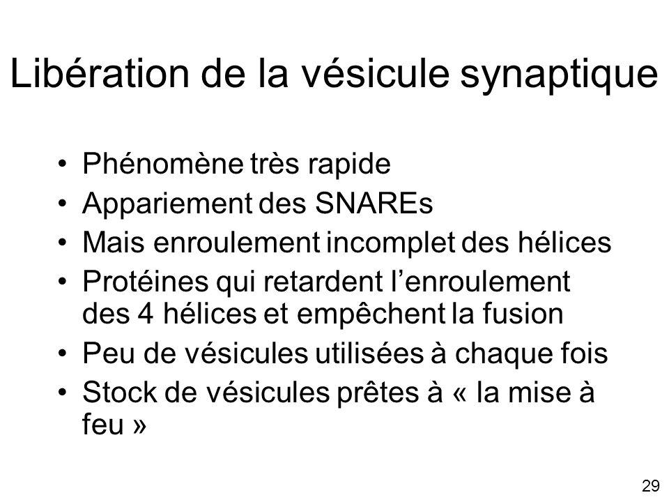 29 Libération de la vésicule synaptique Phénomène très rapide Appariement des SNAREs Mais enroulement incomplet des hélices Protéines qui retardent lenroulement des 4 hélices et empêchent la fusion Peu de vésicules utilisées à chaque fois Stock de vésicules prêtes à « la mise à feu »