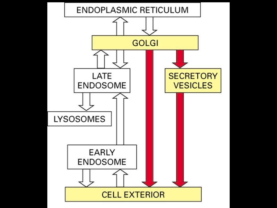 5 Introduction On a vu le système digestif interne de la cellule qui se termine dans le lysosome On revient au Golgi dont les voies se terminent à l extérieur de la cellule