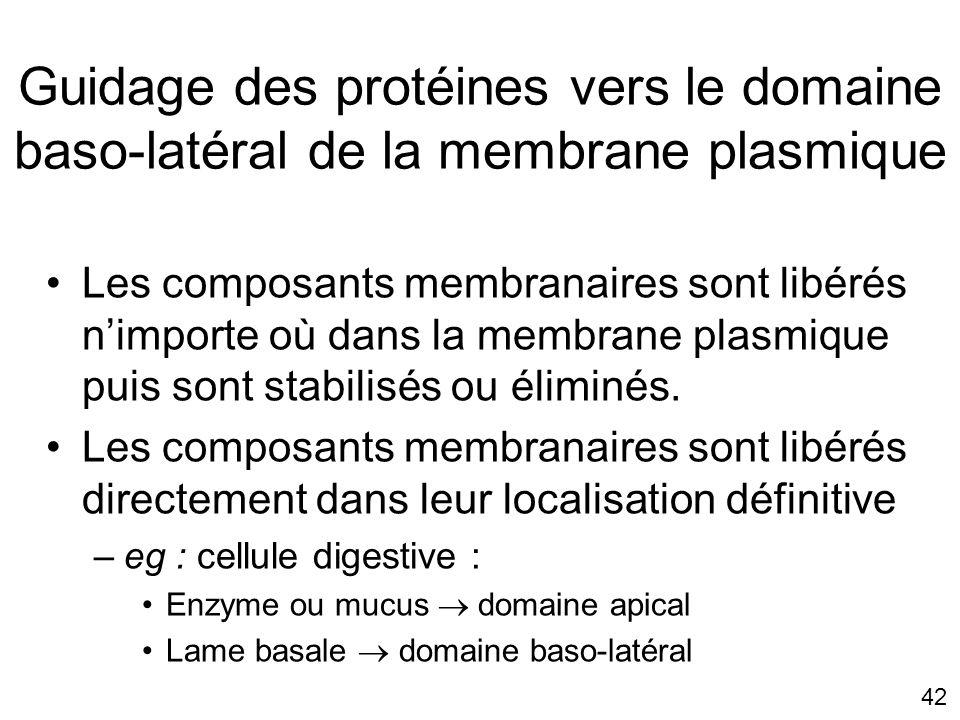 42 Guidage des protéines vers le domaine baso-latéral de la membrane plasmique Les composants membranaires sont libérés nimporte où dans la membrane plasmique puis sont stabilisés ou éliminés.