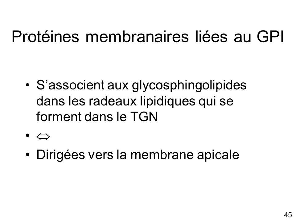 45 Protéines membranaires liées au GPI Sassocient aux glycosphingolipides dans les radeaux lipidiques qui se forment dans le TGN Dirigées vers la membrane apicale