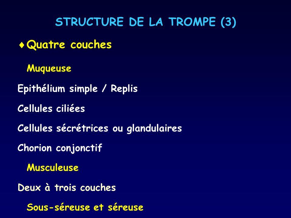STRUCTURE DE LA TROMPE (3) Quatre couches Muqueuse Epithélium simple / Replis Cellules ciliées Cellules sécrétrices ou glandulaires Chorion conjonctif