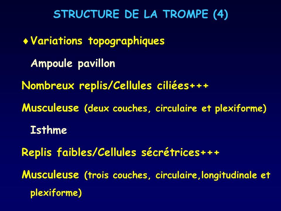 STRUCTURE DE LA TROMPE (4) Variations topographiques Ampoule pavillon Nombreux replis/Cellules ciliées+++ Musculeuse (deux couches, circulaire et plex