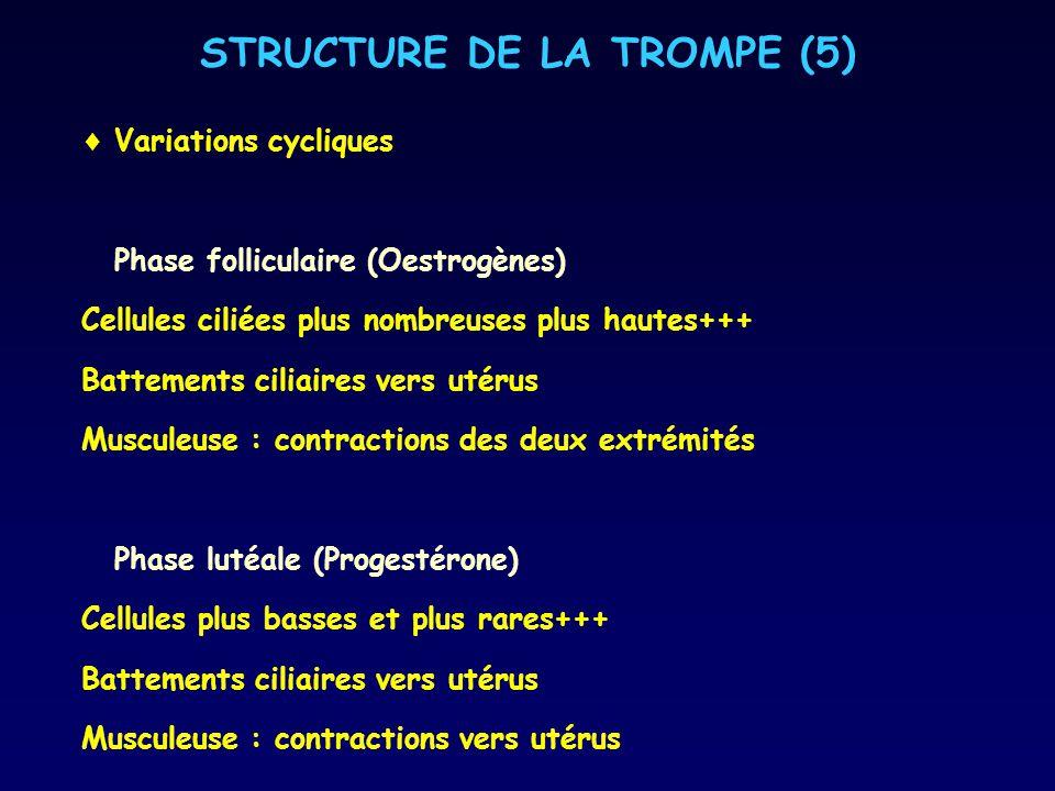 STRUCTURE DE LA TROMPE (5) Variations cycliques Phase folliculaire (Oestrogènes) Cellules ciliées plus nombreuses plus hautes+++ Battements ciliaires