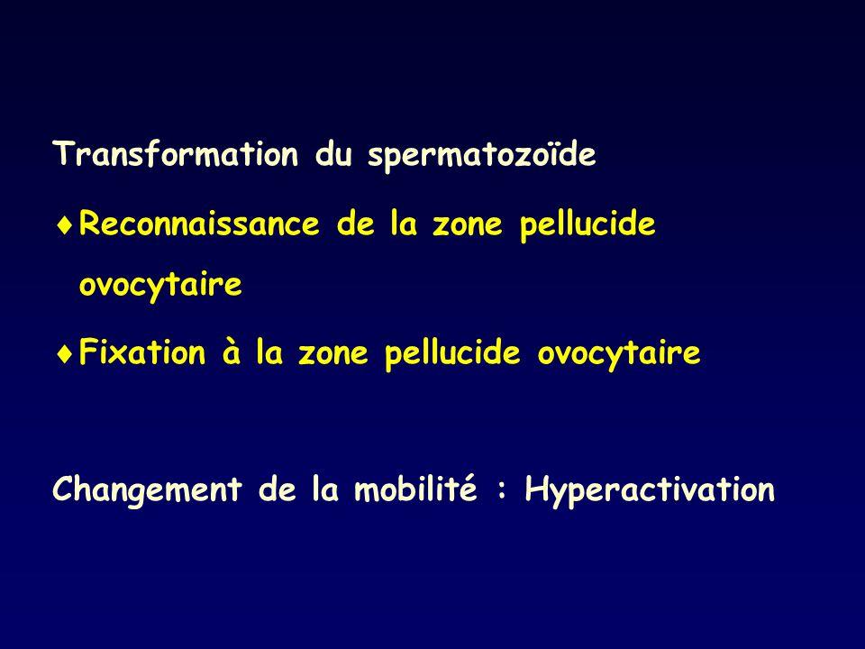 Transformation du spermatozoïde Reconnaissance de la zone pellucide ovocytaire Fixation à la zone pellucide ovocytaire Changement de la mobilité : Hyp