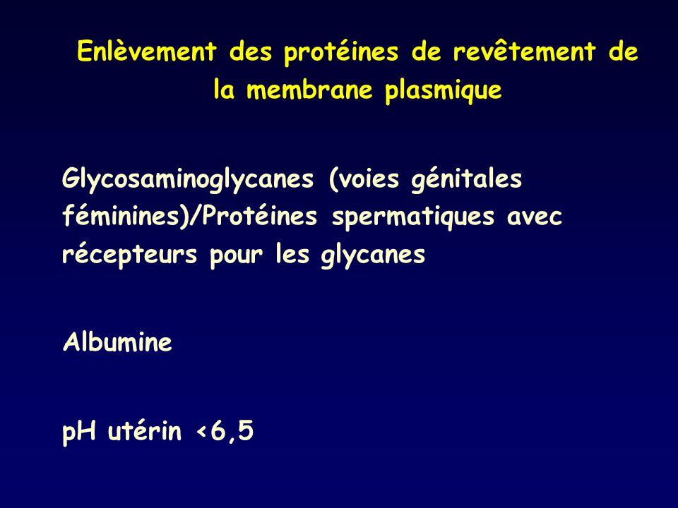 Enlèvement des protéines de revêtement de la membrane plasmique Glycosaminoglycanes (voies génitales féminines)/Protéines spermatiques avec récepteurs