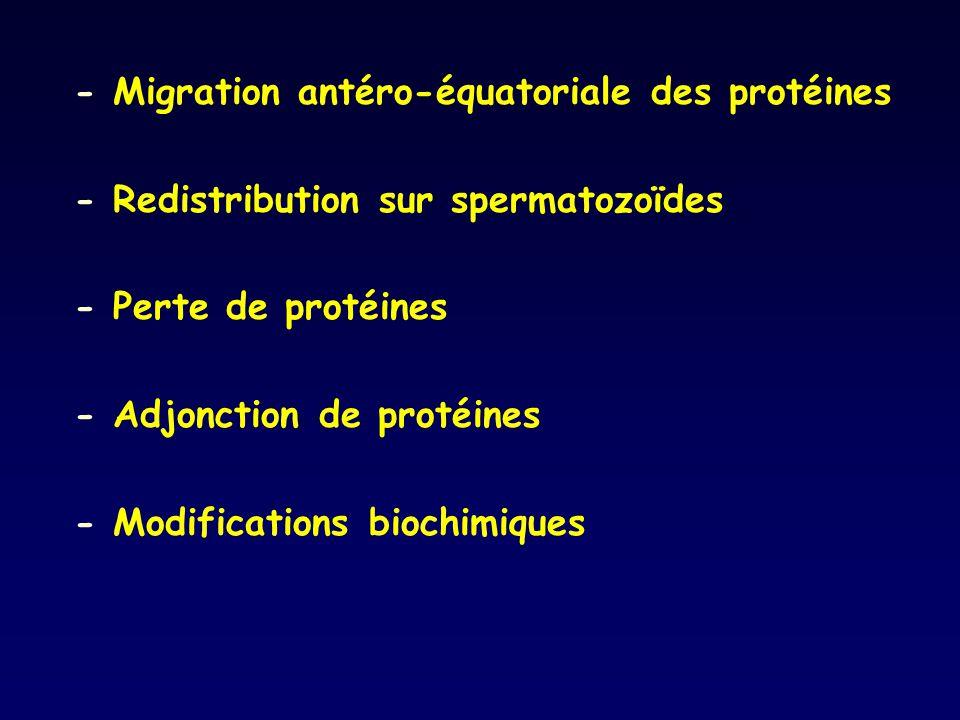 - Migration antéro-équatoriale des protéines - Redistribution sur spermatozoïdes - Perte de protéines - Adjonction de protéines - Modifications biochi