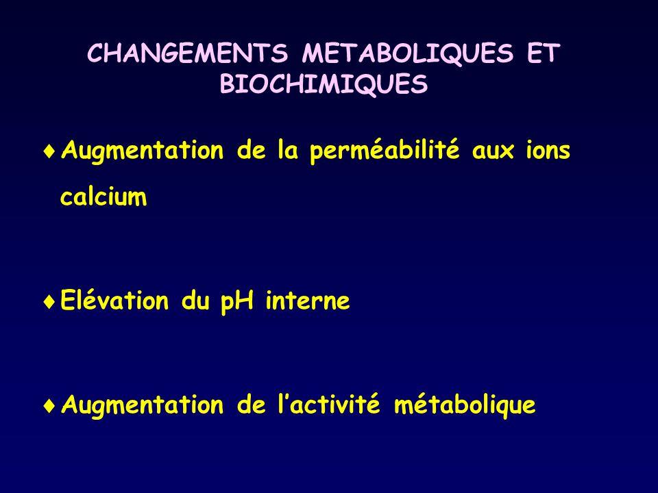 CHANGEMENTS METABOLIQUES ET BIOCHIMIQUES Augmentation de la perméabilité aux ions calcium Elévation du pH interne Augmentation de lactivité métaboliqu