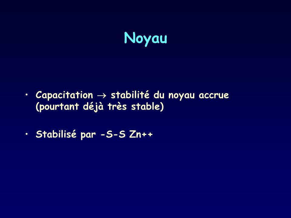 Noyau Capacitation stabilité du noyau accrue (pourtant déjà très stable) Stabilisé par -S-S Zn++