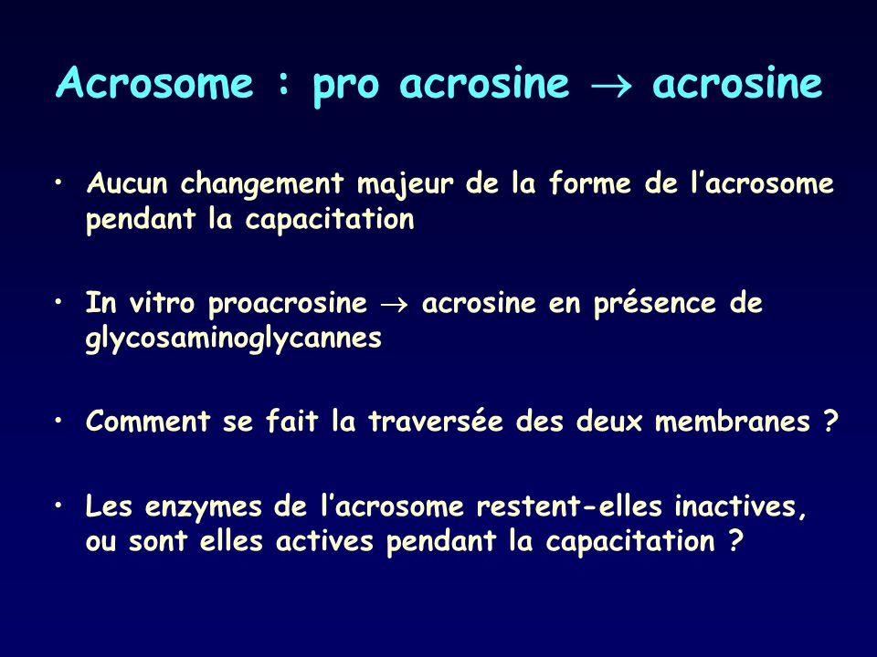 Acrosome : pro acrosine acrosine Aucun changement majeur de la forme de lacrosome pendant la capacitation In vitro proacrosine acrosine en présence de