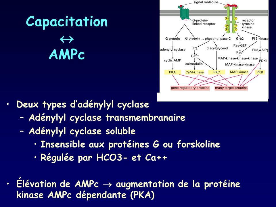 Capacitation AMPc Deux types dadénylyl cyclase –Adénylyl cyclase transmembranaire –Adénylyl cyclase soluble Insensible aux protéines G ou forskoline R