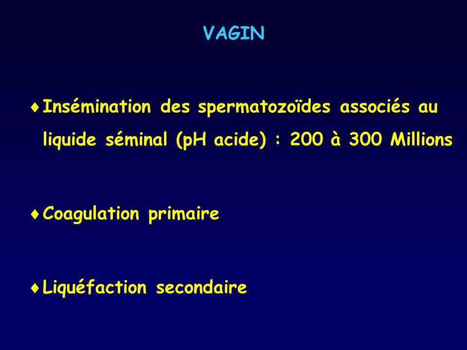 VAGIN Insémination des spermatozoïdes associés au liquide séminal (pH acide) : 200 à 300 Millions Coagulation primaire Liquéfaction secondaire