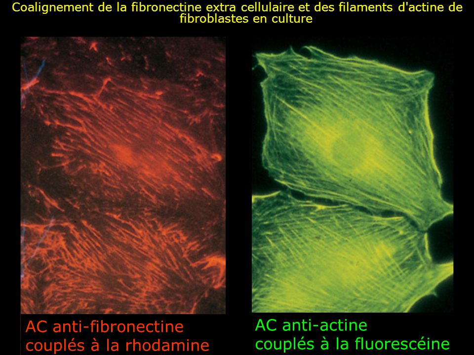 15 Action de la cytochalazine Destruction des filaments dactine Dissociation des fibrilles de fibronectine de la surface cellulaire