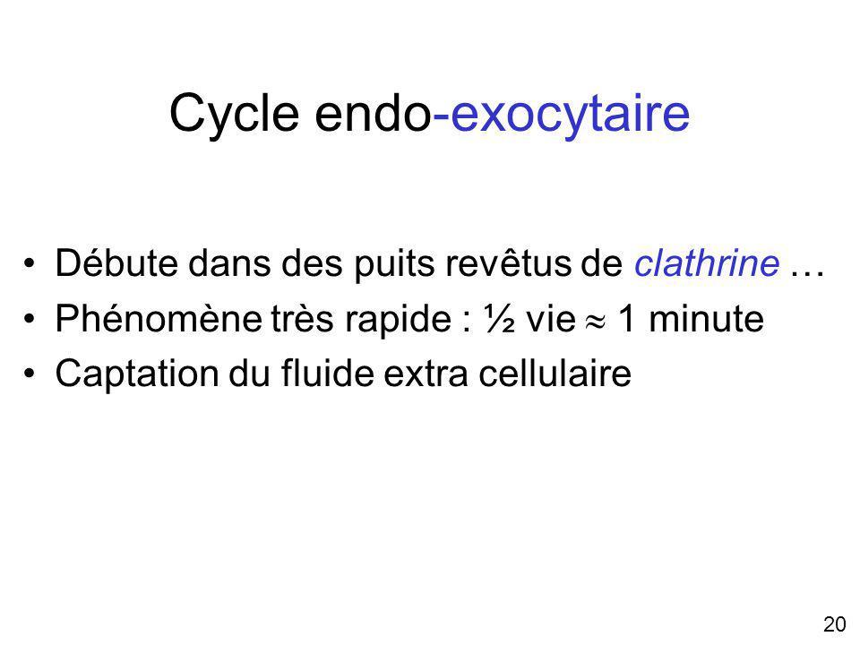 20 Cycle endo-exocytaire Débute dans des puits revêtus de clathrine … Phénomène très rapide : ½ vie 1 minute Captation du fluide extra cellulaire
