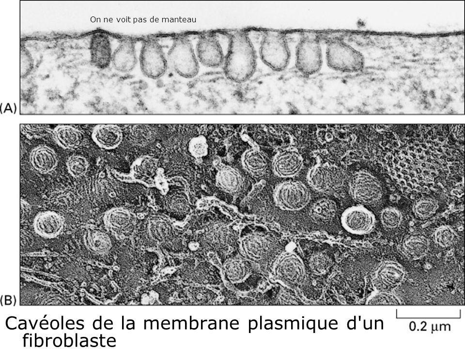 26 Fig 13-42 Cavéoles de la membrane plasmique d un fibroblaste On ne voit pas de manteau