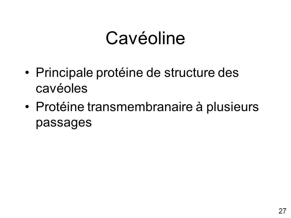 27 Cavéoline Principale protéine de structure des cavéoles Protéine transmembranaire à plusieurs passages