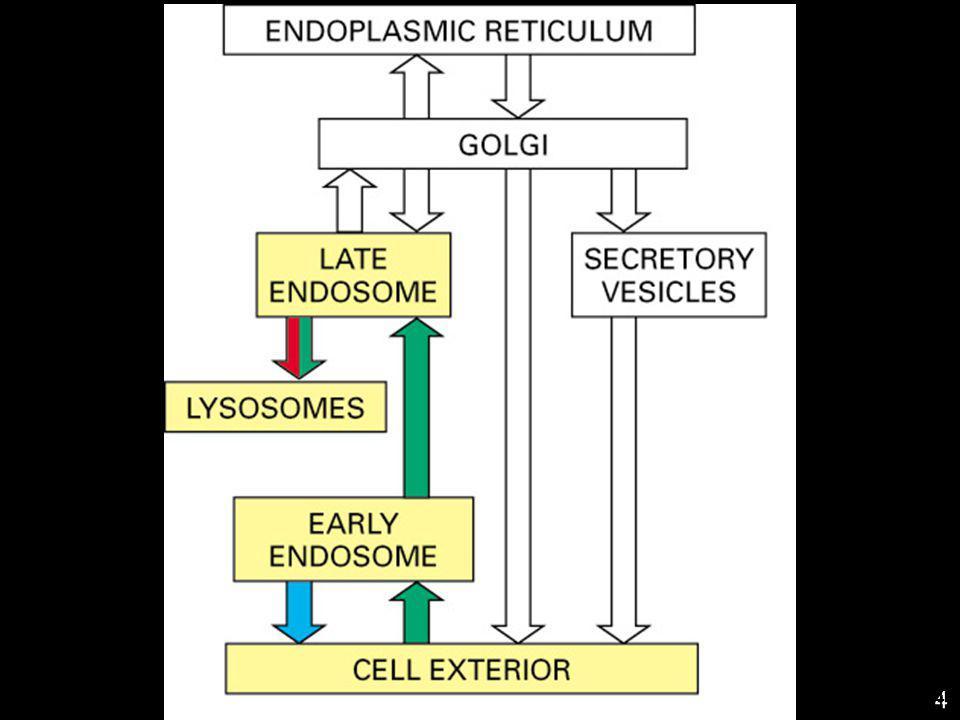 45 Les trois sorts des récepteurs 1.Retour à la membrane plasmique qui leur a donné naissance recyclage 2.Membrane plasmique mais dans un autre domaine transcytose 3.Lysosomes où ils sont détruits dégradation Si le ligand reste lié à son récepteur dans l endosome, il suivra le même chemin que son récepteur