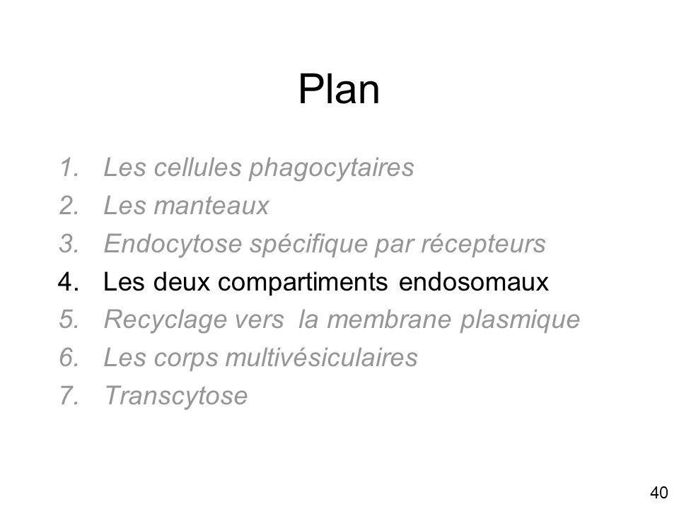 40 Plan 1.Les cellules phagocytaires 2.Les manteaux 3.Endocytose spécifique par récepteurs 4.Les deux compartiments endosomaux 5.Recyclage vers la membrane plasmique 6.Les corps multivésiculaires 7.Transcytose