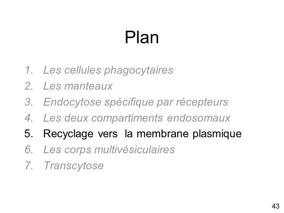 43 Plan 1.Les cellules phagocytaires 2.Les manteaux 3.Endocytose spécifique par récepteurs 4.Les deux compartiments endosomaux 5.Recyclage vers la membrane plasmique 6.Les corps multivésiculaires 7.Transcytose