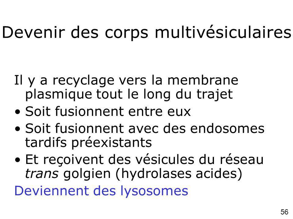 56 Devenir des corps multivésiculaires Il y a recyclage vers la membrane plasmique tout le long du trajet Soit fusionnent entre eux Soit fusionnent avec des endosomes tardifs préexistants Et reçoivent des vésicules du réseau trans golgien (hydrolases acides) Deviennent des lysosomes