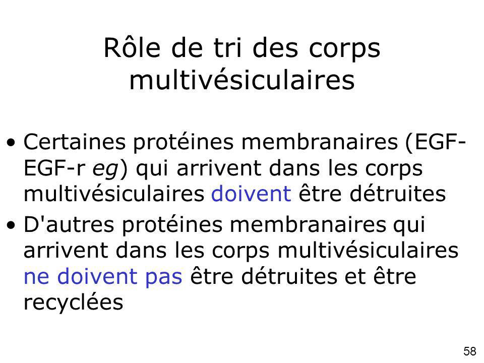 58 Rôle de tri des corps multivésiculaires Certaines protéines membranaires (EGF- EGF-r eg) qui arrivent dans les corps multivésiculaires doivent être détruites D autres protéines membranaires qui arrivent dans les corps multivésiculaires ne doivent pas être détruites et être recyclées