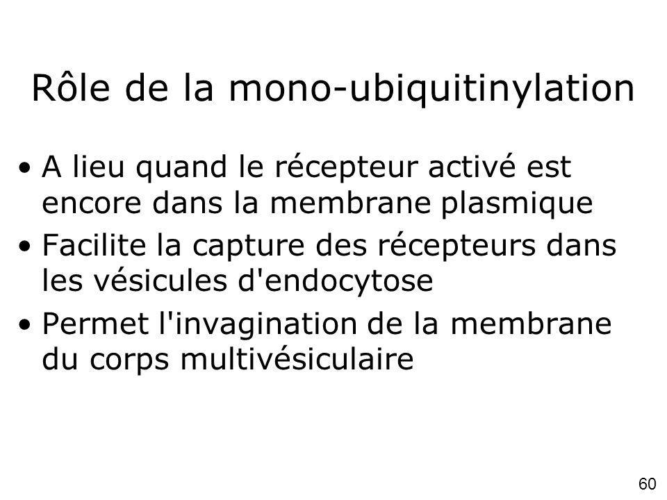 60 Rôle de la mono-ubiquitinylation A lieu quand le récepteur activé est encore dans la membrane plasmique Facilite la capture des récepteurs dans les vésicules d endocytose Permet l invagination de la membrane du corps multivésiculaire