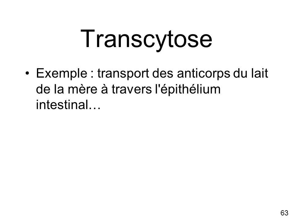 63 Transcytose Exemple : transport des anticorps du lait de la mère à travers l'épithélium intestinal…