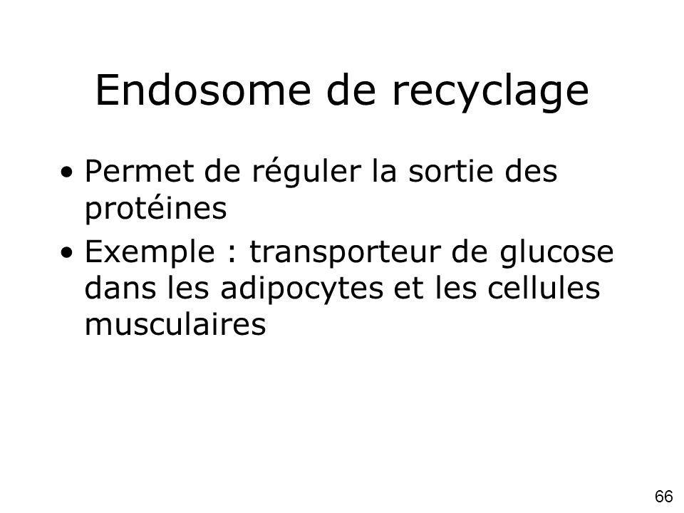 66 Endosome de recyclage Permet de réguler la sortie des protéines Exemple : transporteur de glucose dans les adipocytes et les cellules musculaires