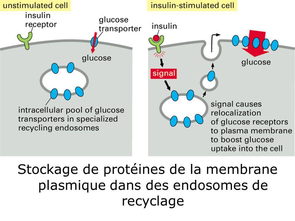 67 Fig 13-52 Stockage de protéines de la membrane plasmique dans des endosomes de recyclage