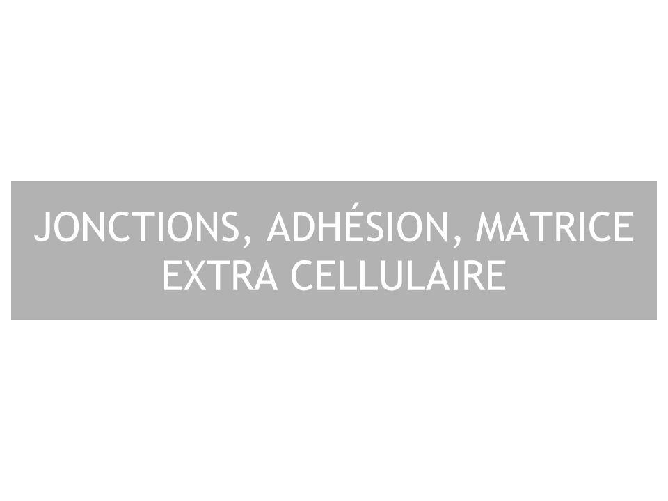 12 1 - Constituants du tissu conjonctif Cellules : fibroblastes –cartilage chondroblaste –os ostéoblaste Matrice extra-cellulaire : –Glycosaminoglycannes liés à des protéines sous la forme de protéoglycannes –Protéines fibreuses structurales –collagène –élastine adhésives –fibronectine –Laminine