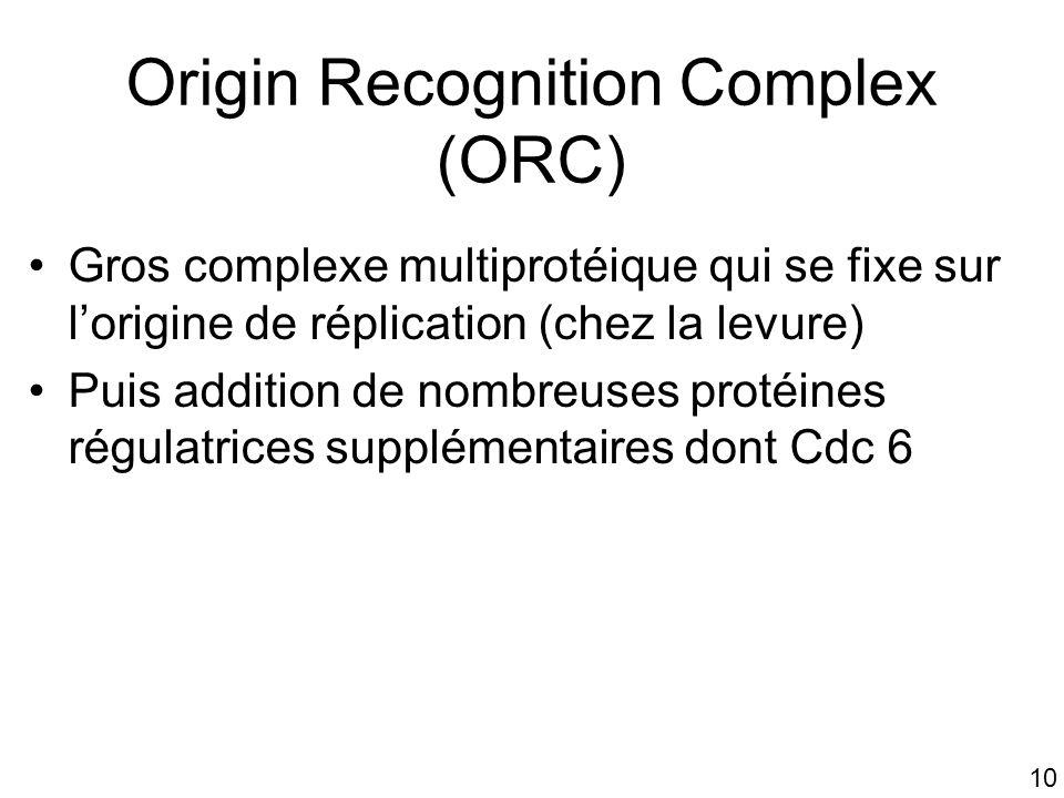 10 Origin Recognition Complex (ORC) Gros complexe multiprotéique qui se fixe sur lorigine de réplication (chez la levure) Puis addition de nombreuses