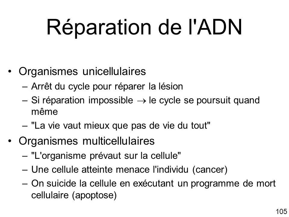 105 Réparation de l'ADN Organismes unicellulaires –Arrêt du cycle pour réparer la lésion –Si réparation impossible le cycle se poursuit quand même –