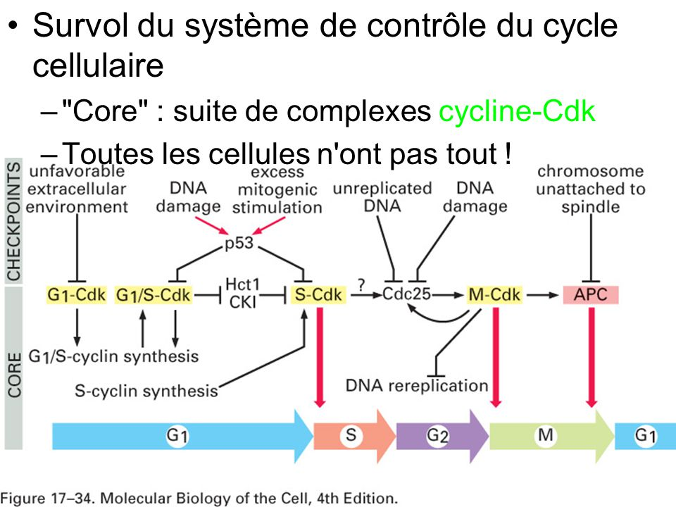109 Fig 17-34 Survol du système de contrôle du cycle cellulaire –