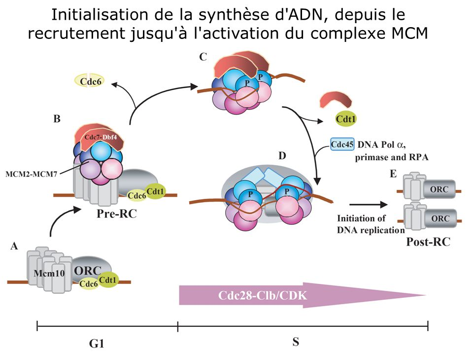 13 Lei,M2001p1447: Initiating DNA synthesis: from recruiting to activating the MCM complex.