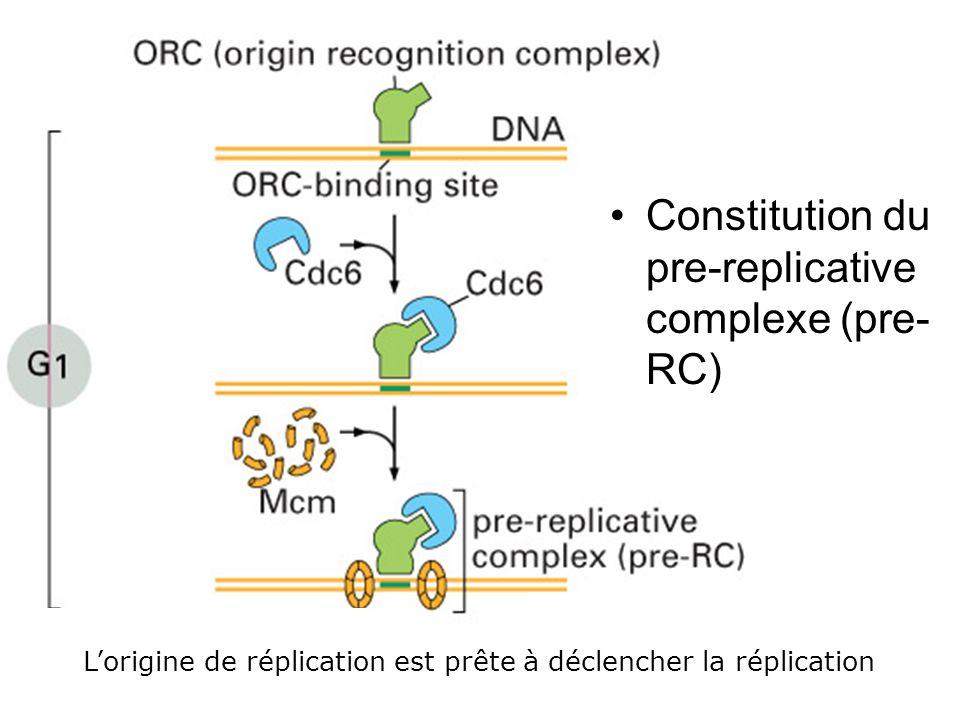 15 Fig 17-22 Constitution du pre-replicative complexe (pre- RC) Lorigine de réplication est prête à déclencher la réplication
