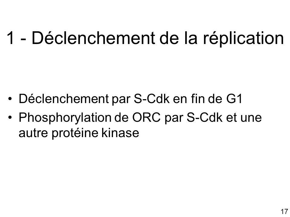 17 1 - Déclenchement de la réplication Déclenchement par S-Cdk en fin de G1 Phosphorylation de ORC par S-Cdk et une autre protéine kinase