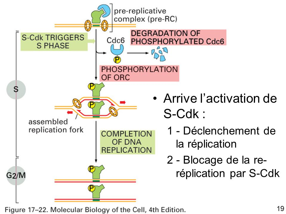 19 Fig 17-22 Arrive lactivation de S-Cdk : 1 - Déclenchement de la réplication 2 - Blocage de la re- réplication par S-Cdk
