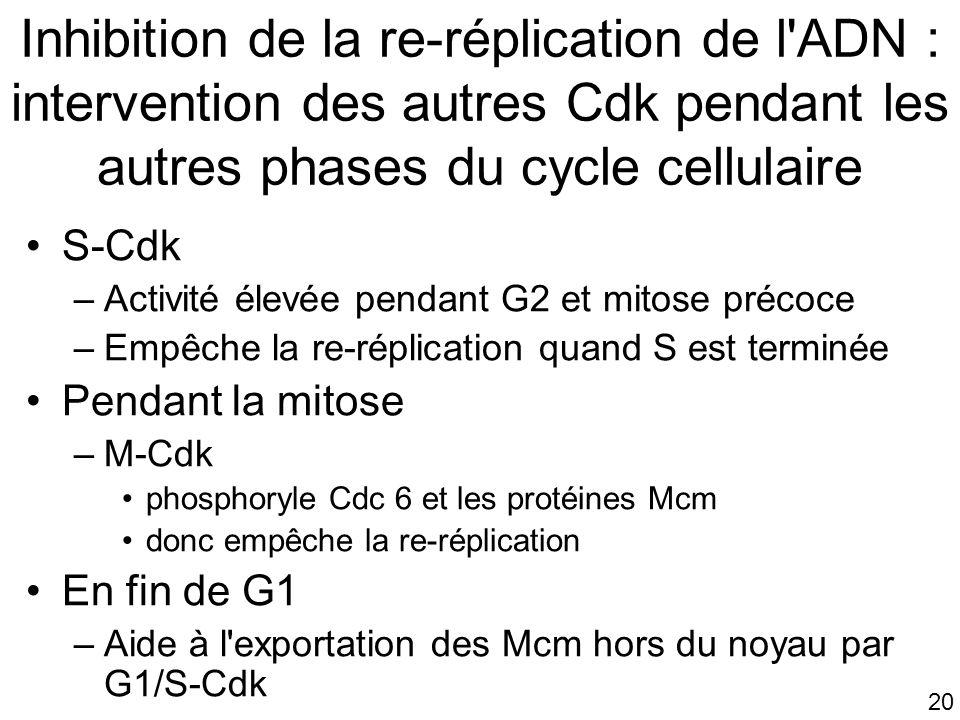 20 Inhibition de la re-réplication de l'ADN : intervention des autres Cdk pendant les autres phases du cycle cellulaire S-Cdk –Activité élevée pendant