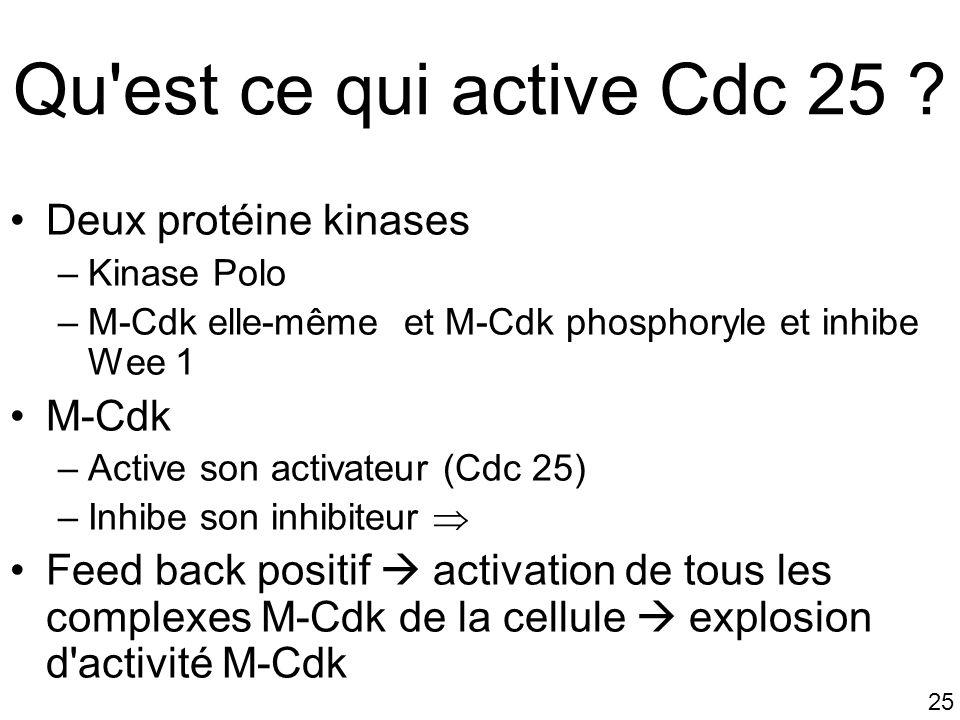 25 Qu'est ce qui active Cdc 25 ? Deux protéine kinases –Kinase Polo –M-Cdk elle-même et M-Cdk phosphoryle et inhibe Wee 1 M-Cdk –Active son activateur