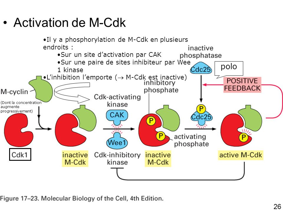 26 Fig 17-23 Activation de M-Cdk (Dont la concentration augmente progressivement) Il y a phosphorylation de M-Cdk en plusieurs endroits : Sur un site dactivation par CAK Sur une paire de sites inhibiteur par Wee 1 kinase Linhibition lemporte ( M-Cdk est inactive) polo