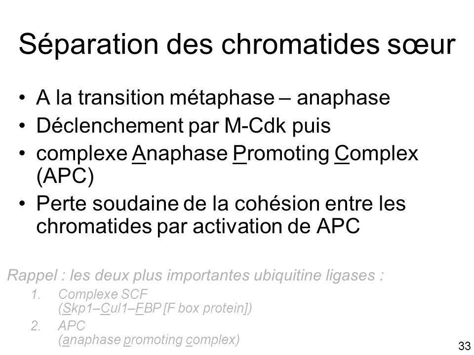 33 Séparation des chromatides sœur A la transition métaphase – anaphase Déclenchement par M-Cdk puis complexe Anaphase Promoting Complex (APC) Perte s