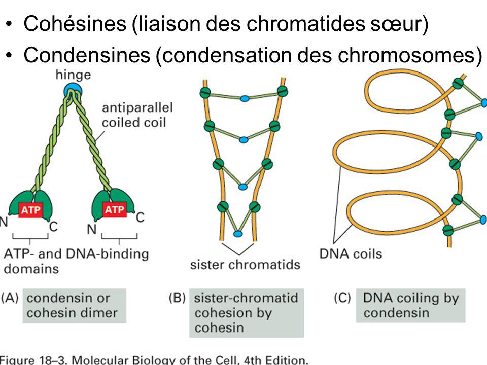 36 Fig 18-3 Cohésines (liaison des chromatides sœur) Condensines (condensation des chromosomes)