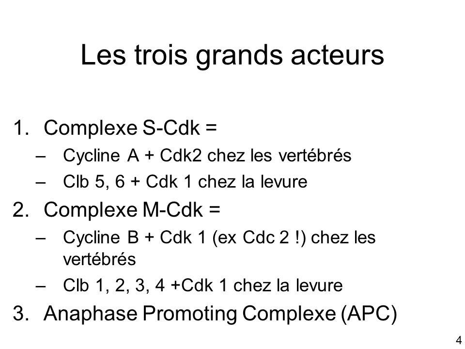 4 Les trois grands acteurs 1.Complexe S-Cdk = –Cycline A + Cdk2 chez les vertébrés –Clb 5, 6 + Cdk 1 chez la levure 2.Complexe M-Cdk = –Cycline B + Cd